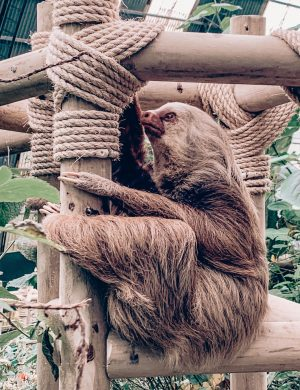 Sloths Costa Rica, Two Finger Sloth, Sloths